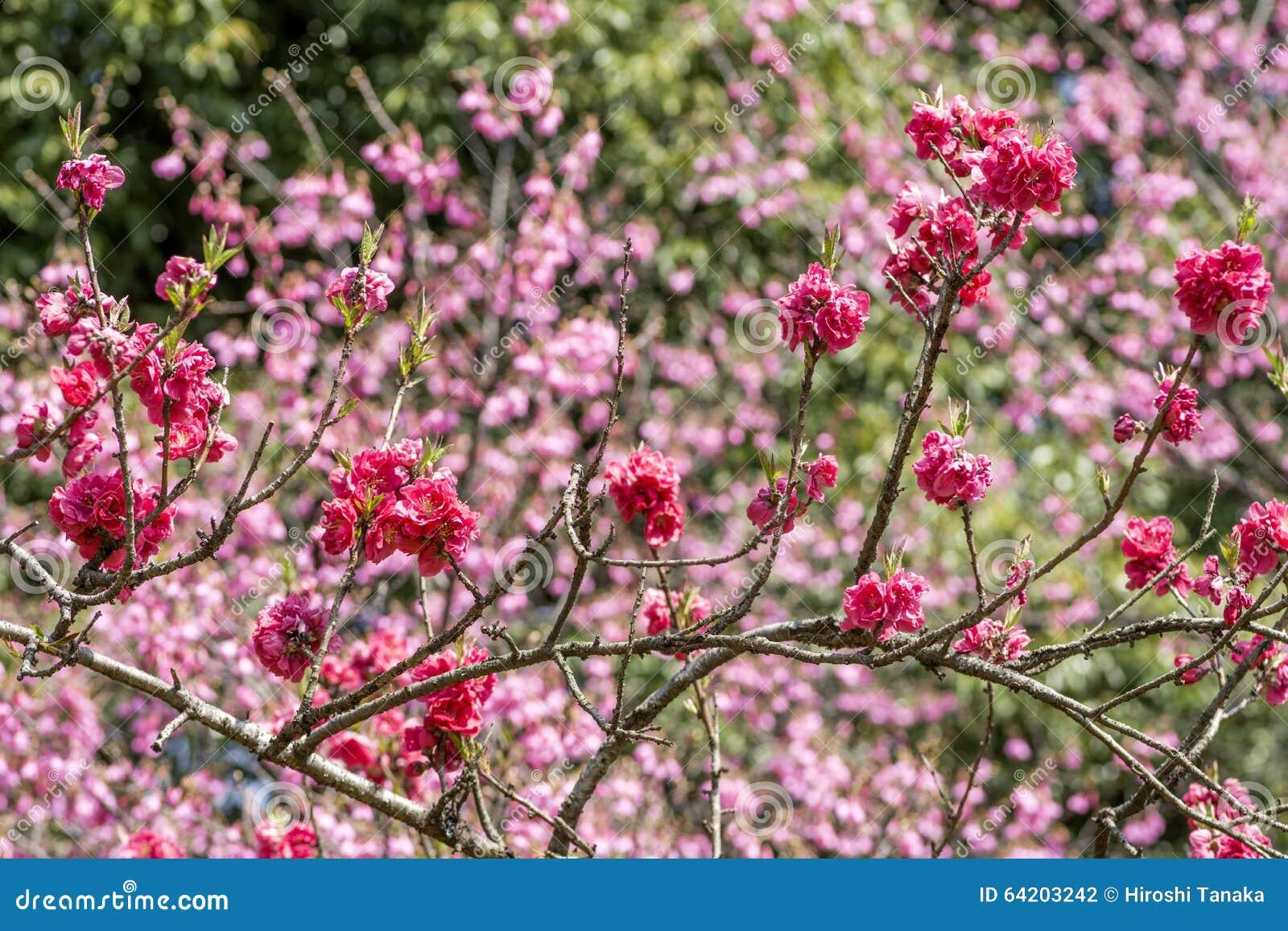 Flores de color rosa oscuro del melocotón