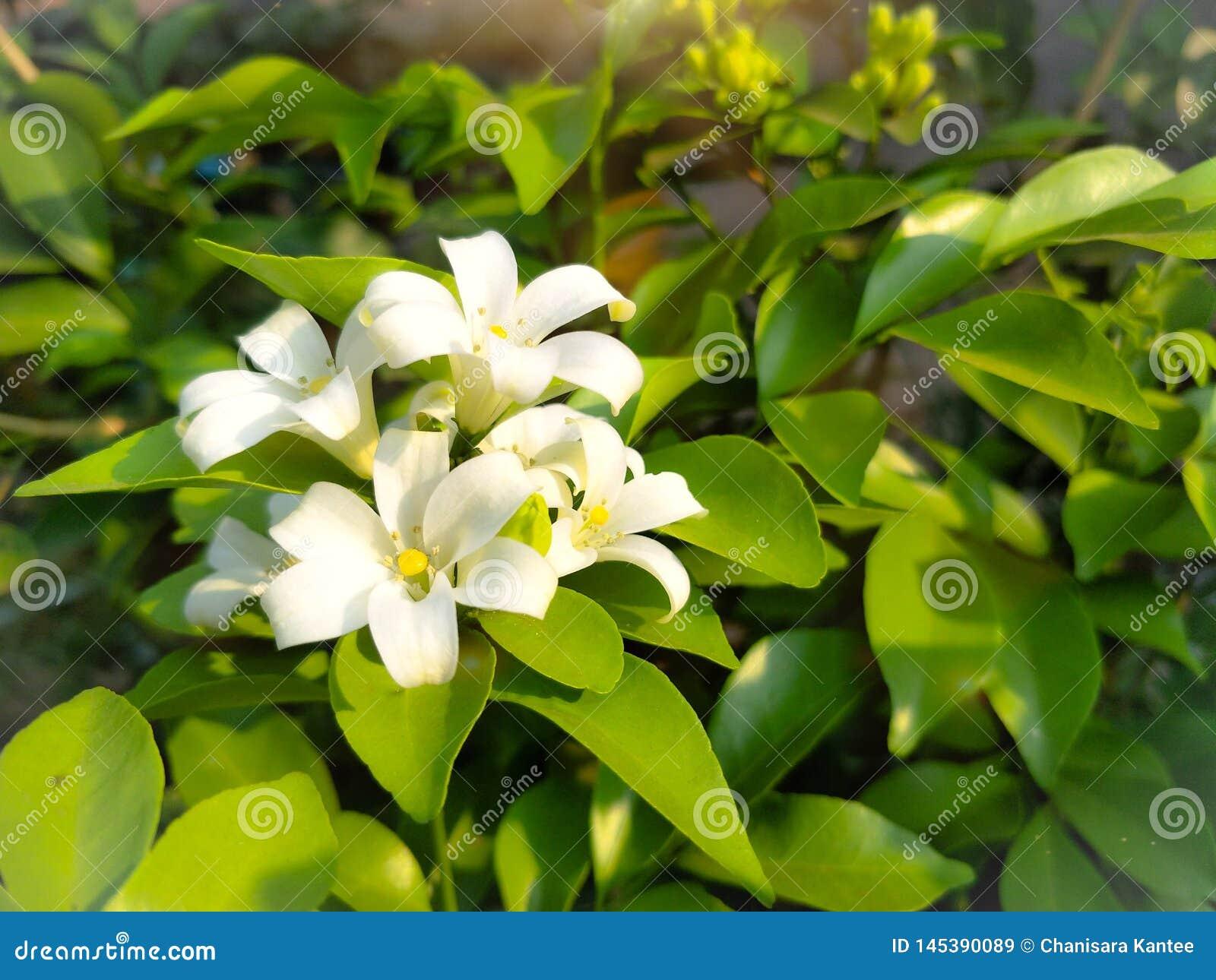 Flores de cristal blancas hermosas con las hojas, el fondo, la luz del sol del verano y la falta de definición verdes
