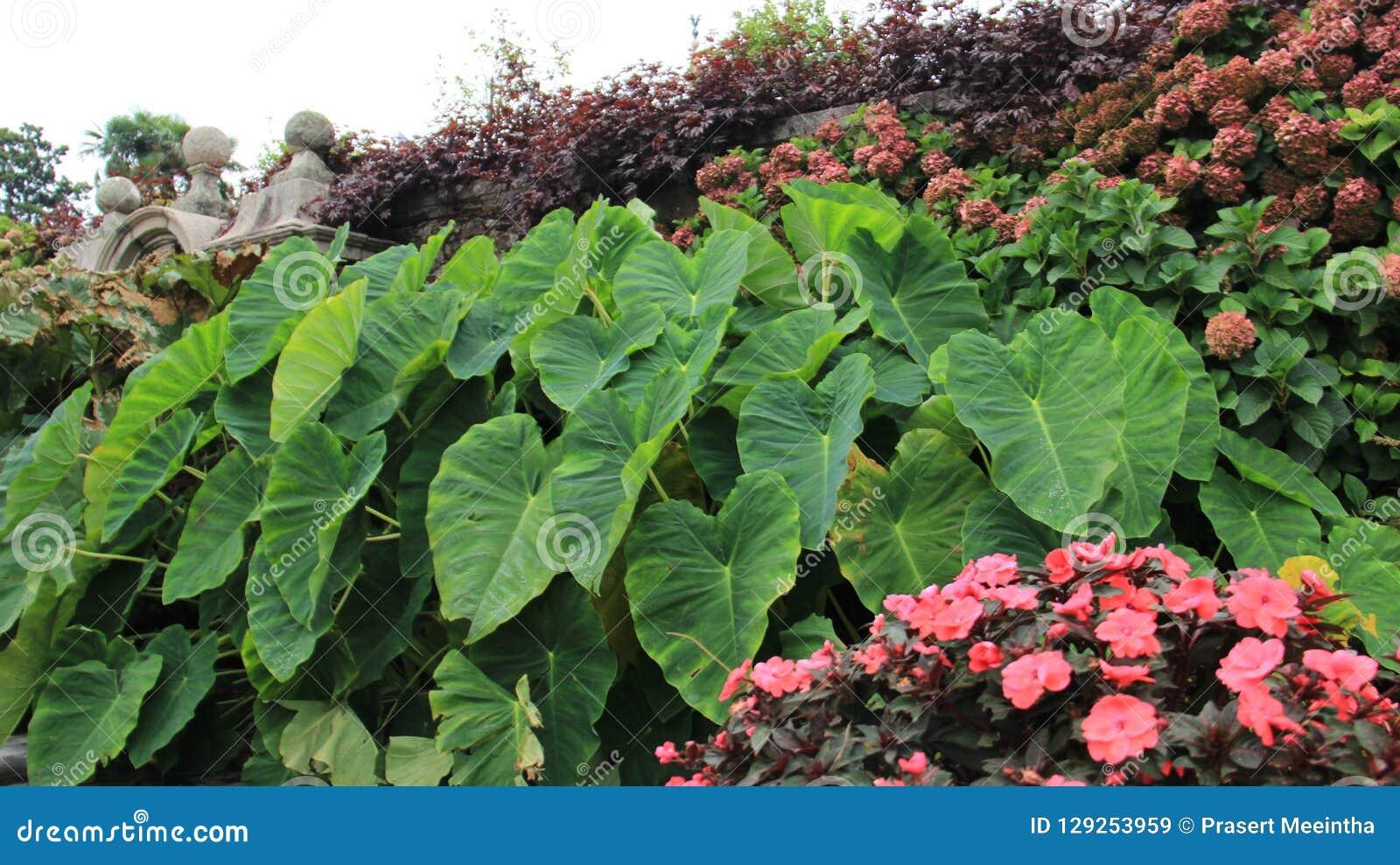 Flores de florescência com as folhas verdes do Caladium