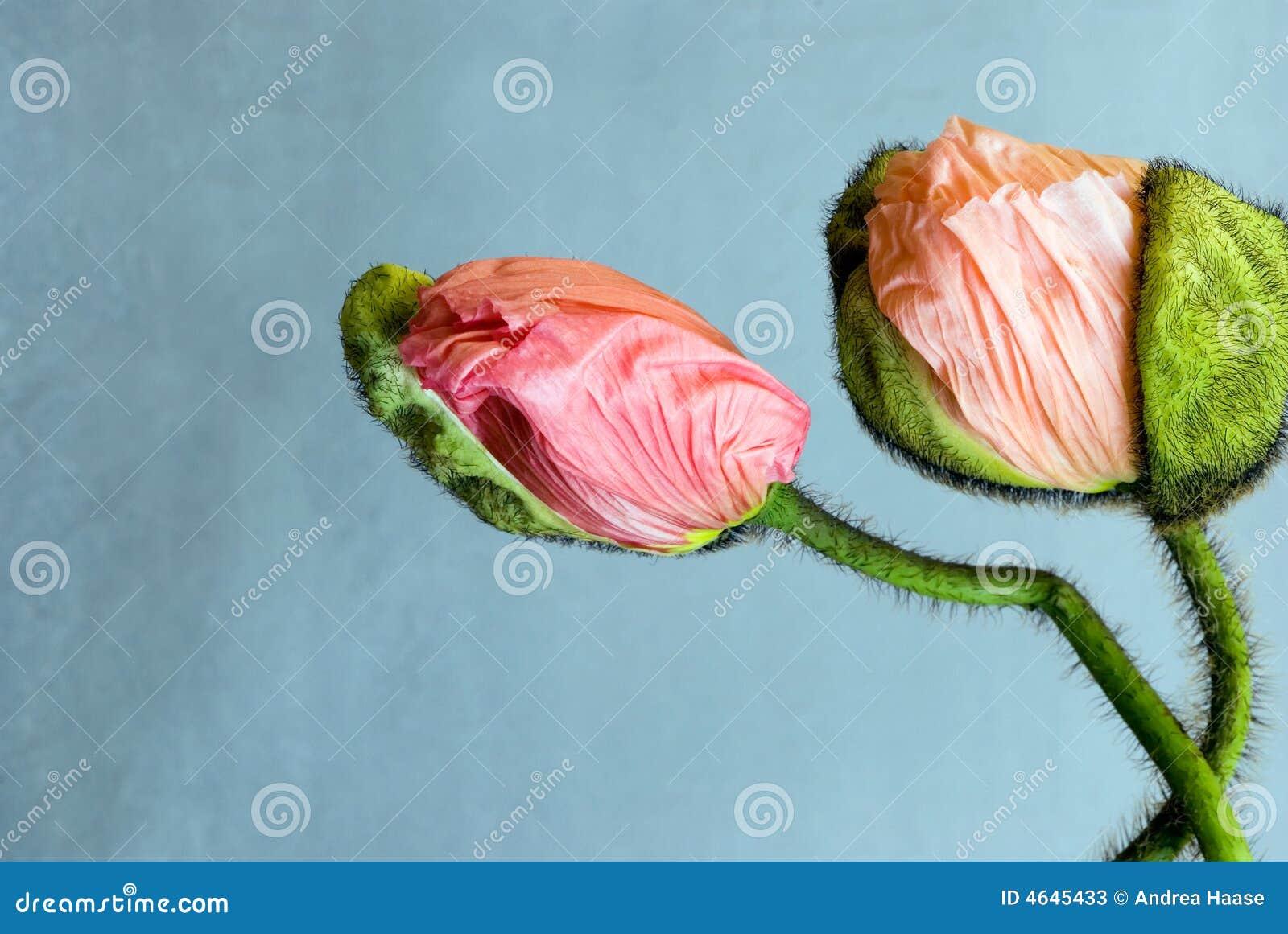 Flores de florescência da papoila
