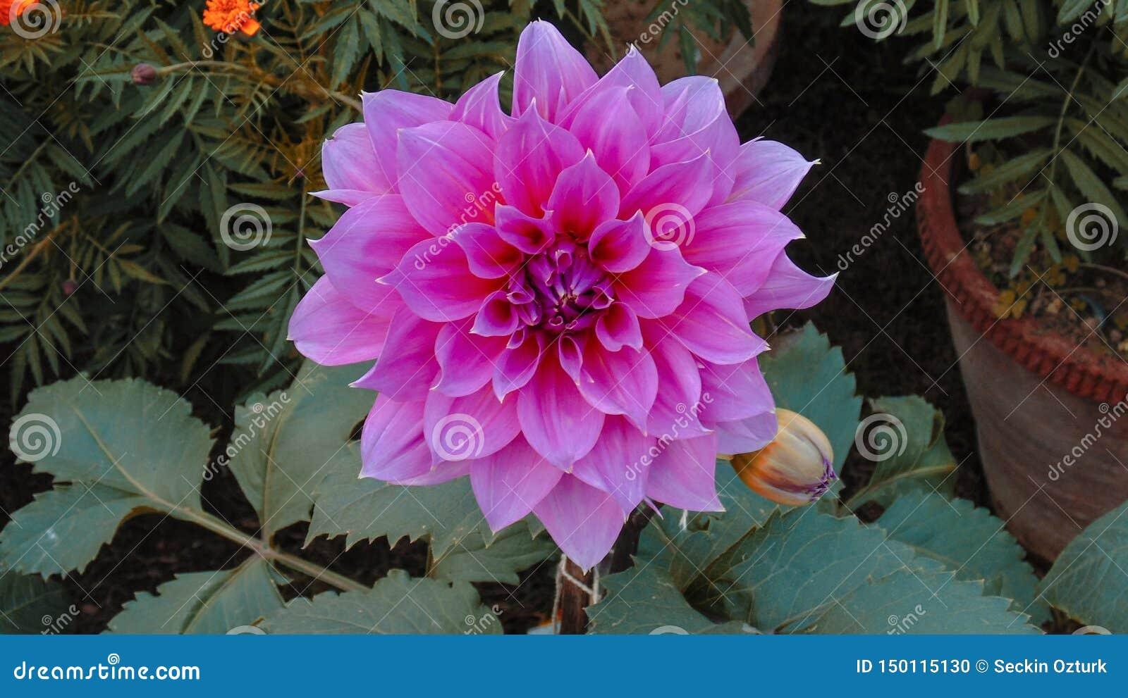 Flores de lótus coloridas em Ásia