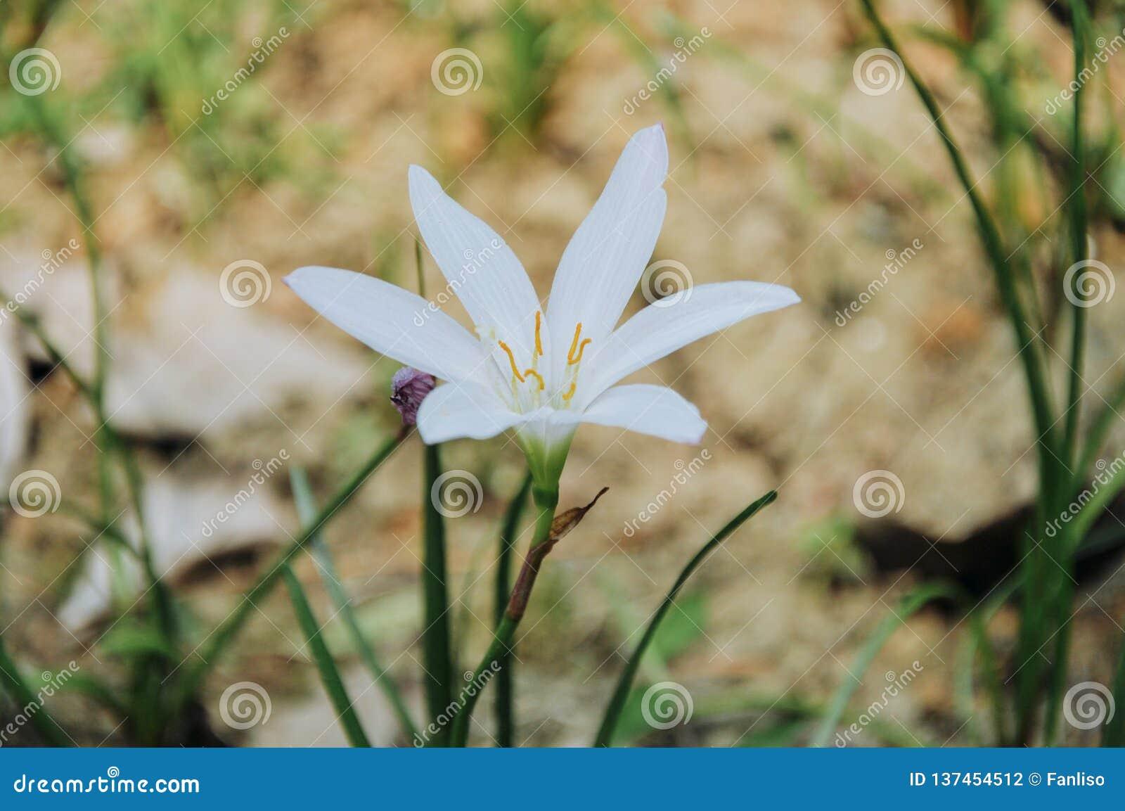 Flores de la candida de Zephyranthes que florecen en verano