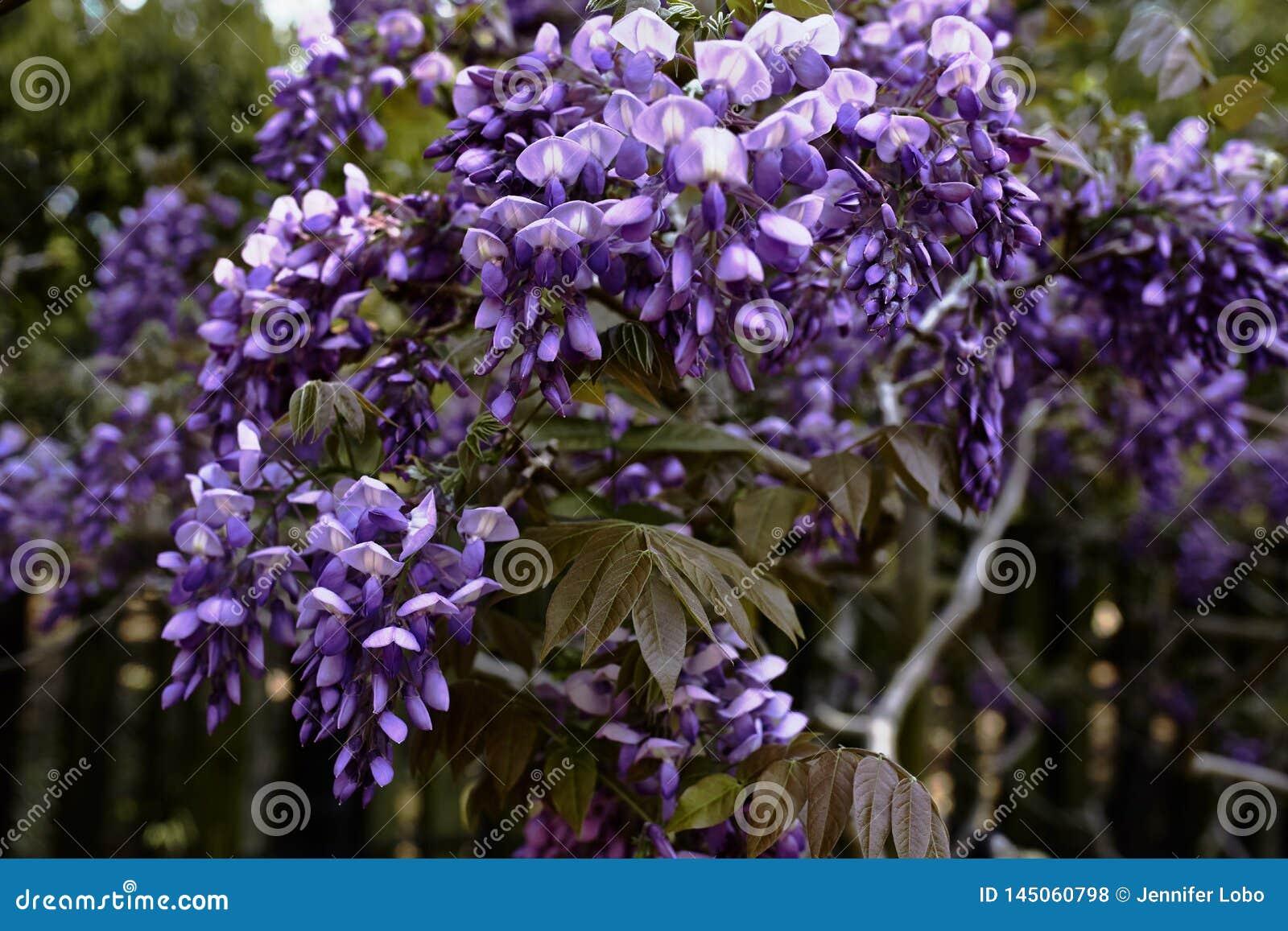 Flores de la glicinia en la floración en la primavera