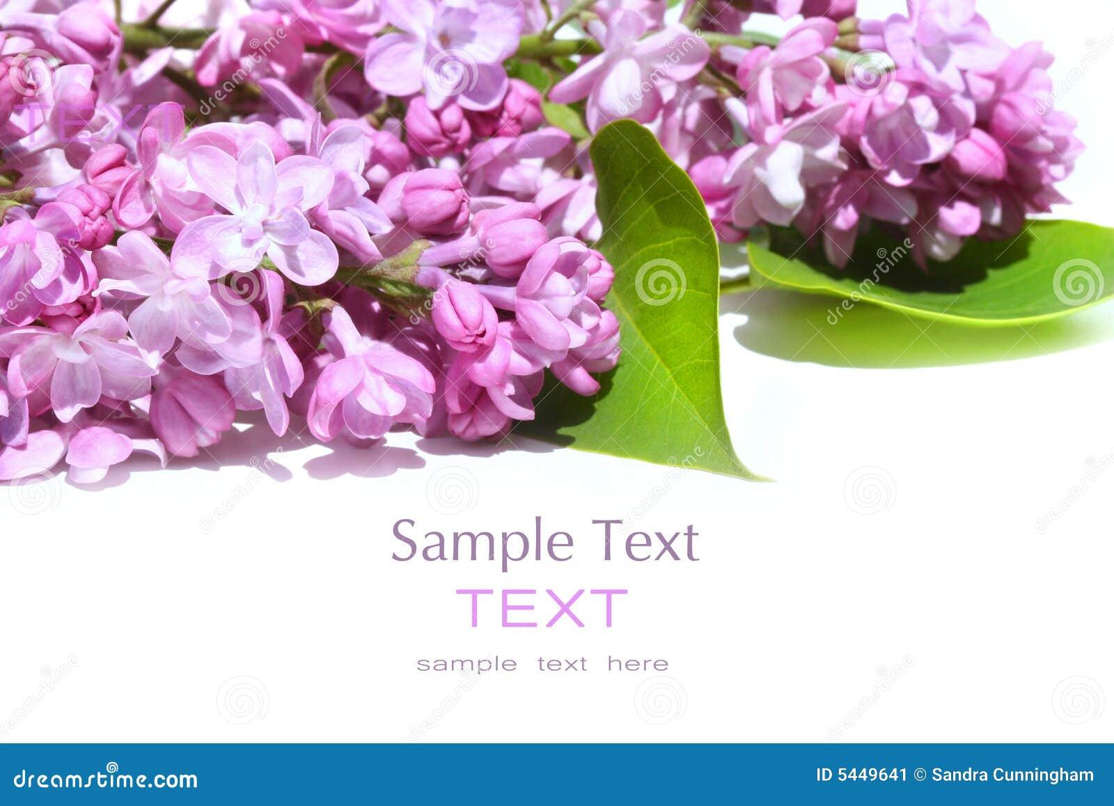 Flores de la lila aisladas contra blanco
