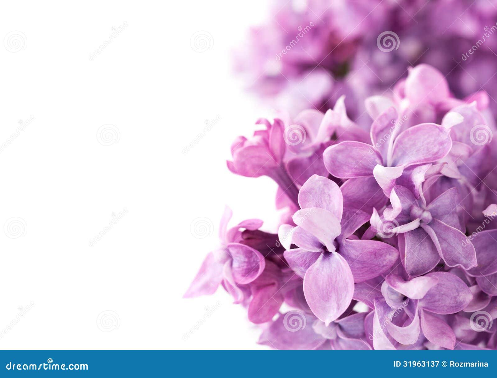 Flores Lilas Con Rosas Sobre Fondo: Flores De La Lila En Un Fondo Blanco Imagen De Archivo