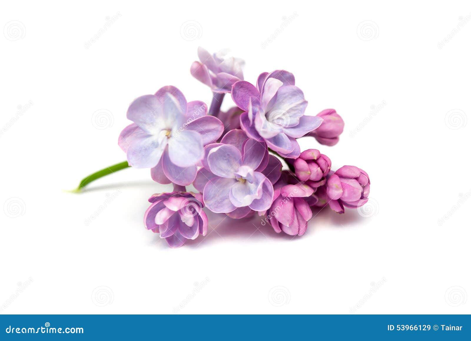 Flores Lilas Con Rosas Sobre Fondo: Flores De La Lila Fondo Blanco Imagen De Archivo