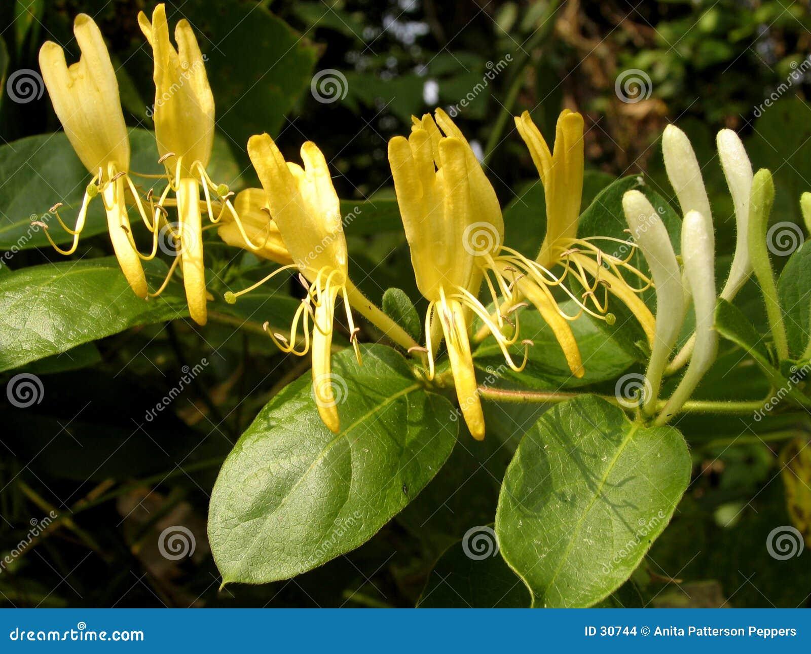 Flores de la madreselva foto de archivo imagen de - La madreselva ...