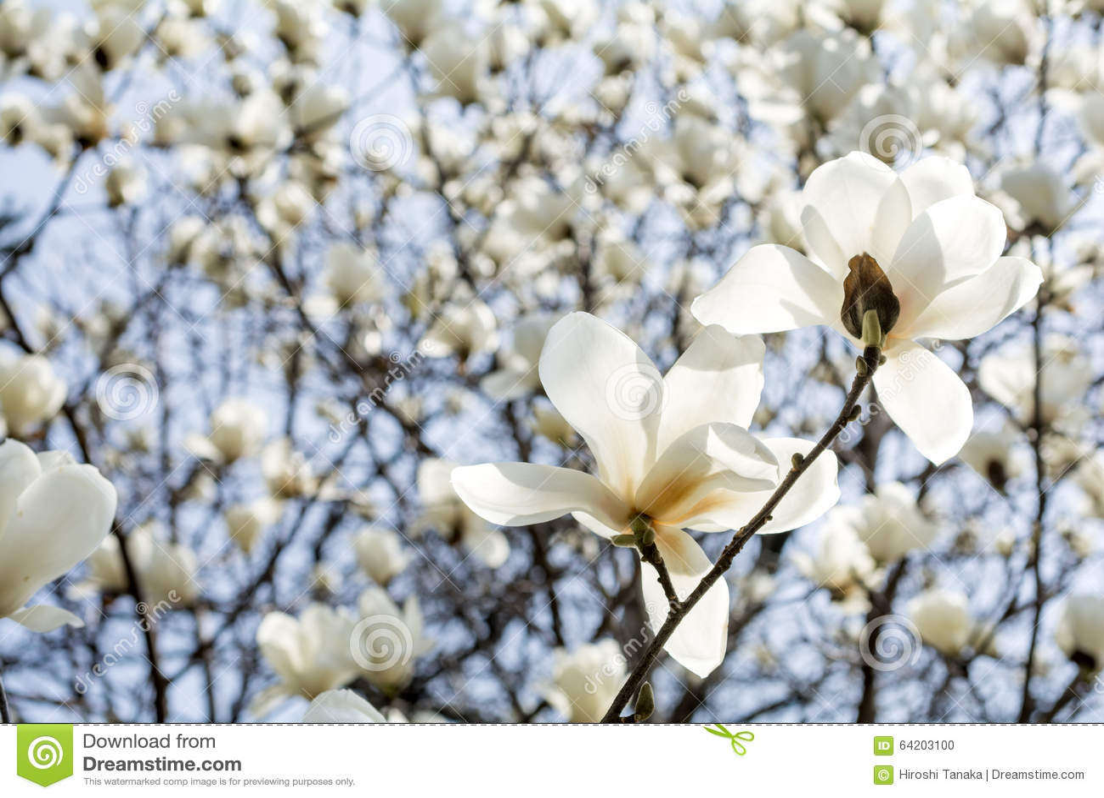 Flores de la magnolia de Yulan