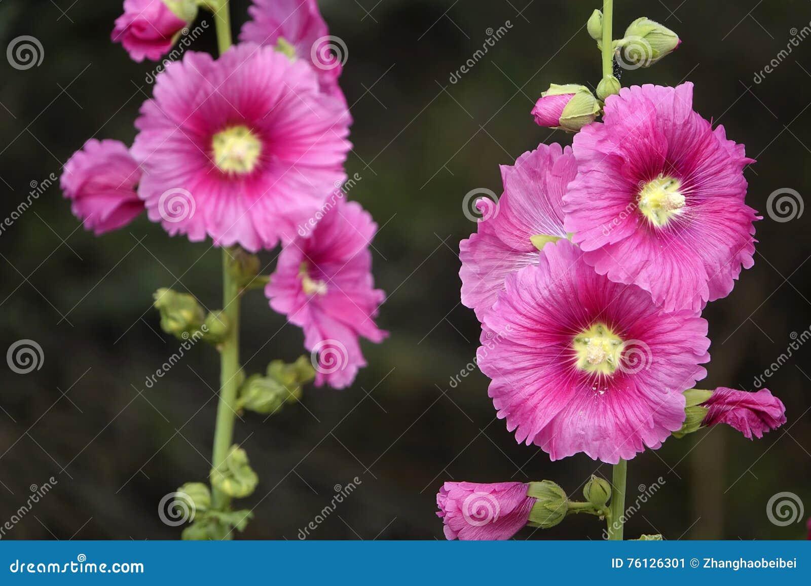 Flores de la malvarrosa imagen de archivo imagen de for Malvarrosa planta