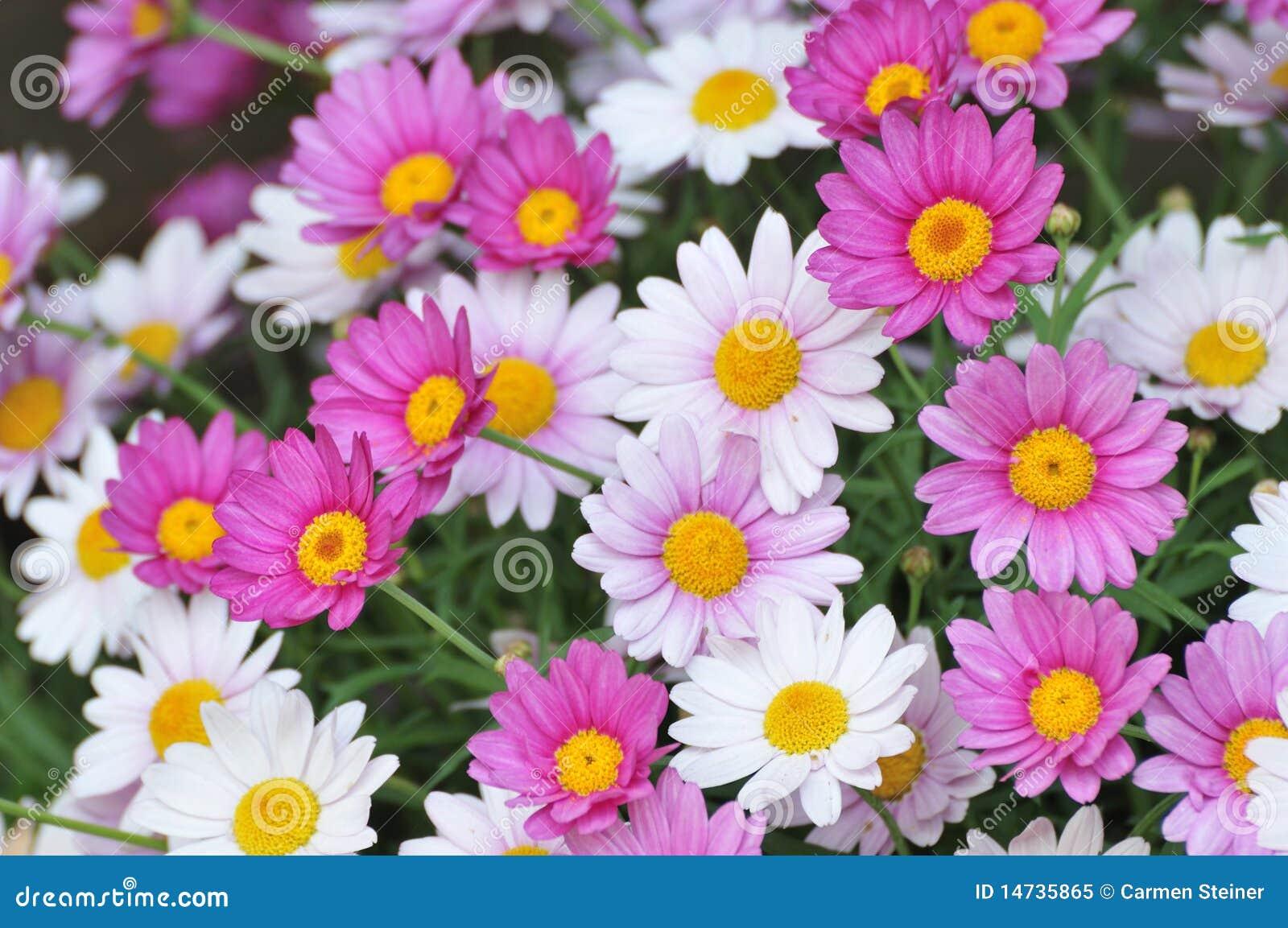 Flores de la margarita de ojo de buey