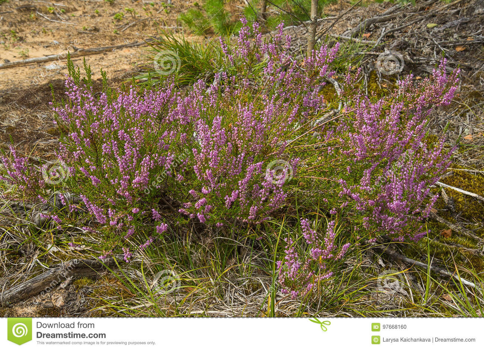 Flores de la púrpura del brezo