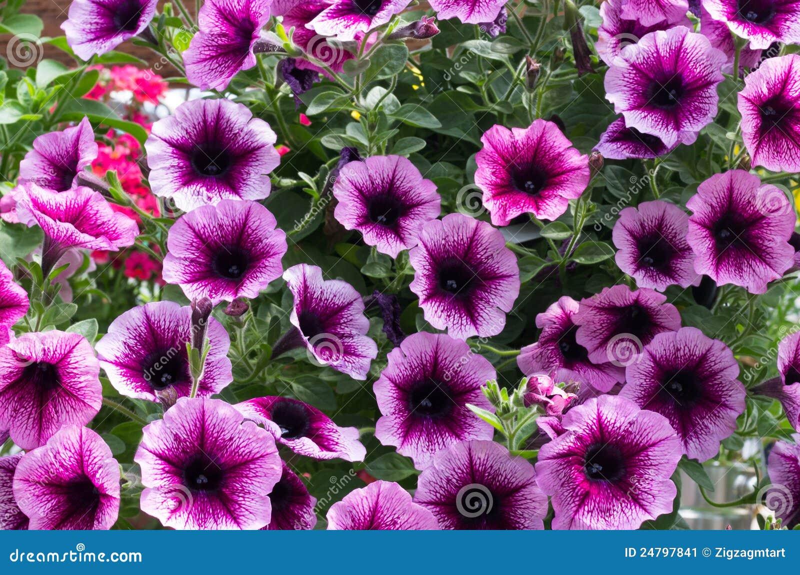 Flores de la petunia que florecen en verano imagen de - Flores de verano ...