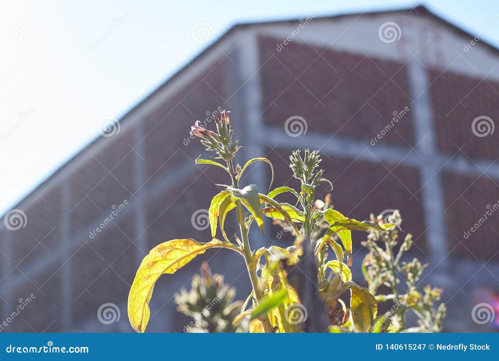 Flores de la planta de tabaco