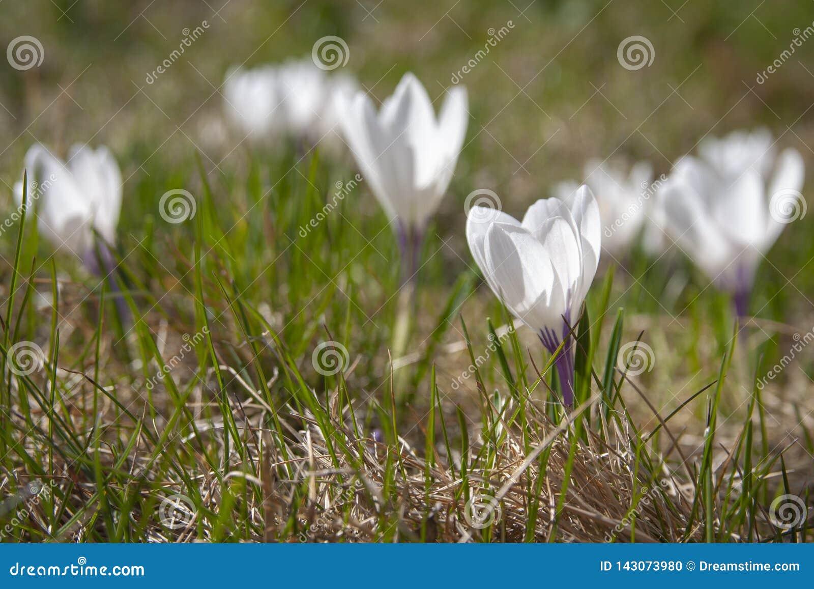 Flores de la primavera en una hierba amarilla en un día soleado