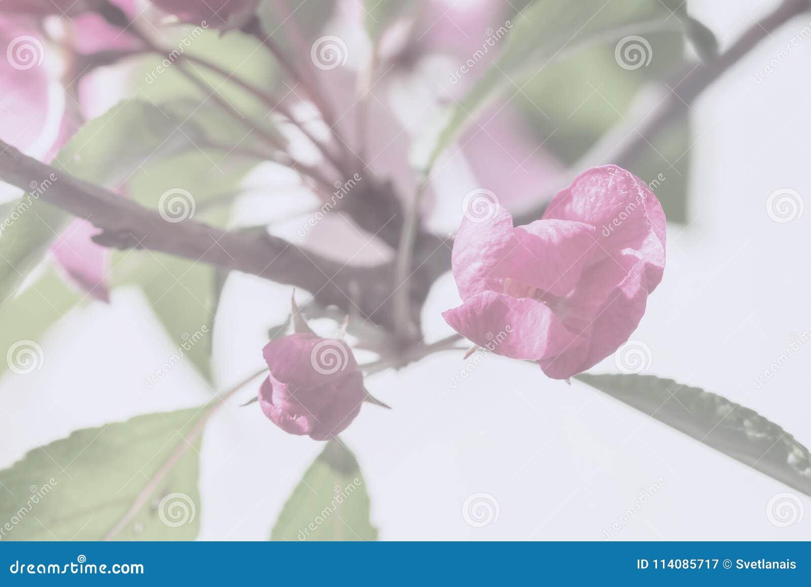 Flores de la primavera de la manzana, cereza, color del vintage Rama de Sakura, árbol frutal floreciente Fondo suave ligero