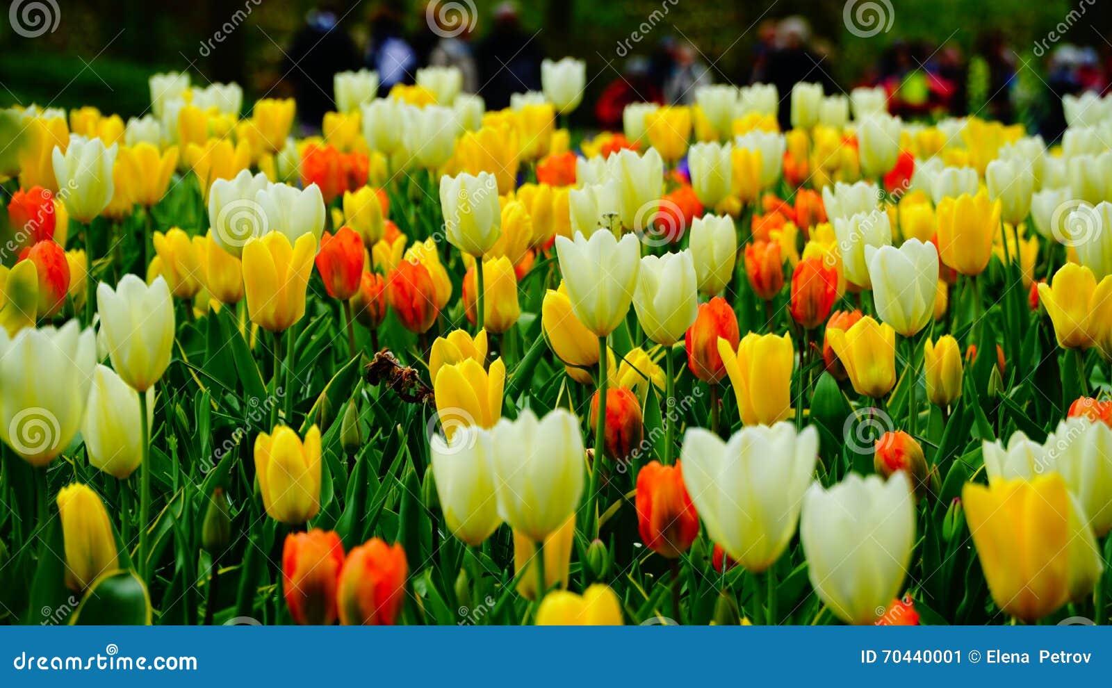 Flores de la primavera: un cierre para arriba de tulipanes colouful
