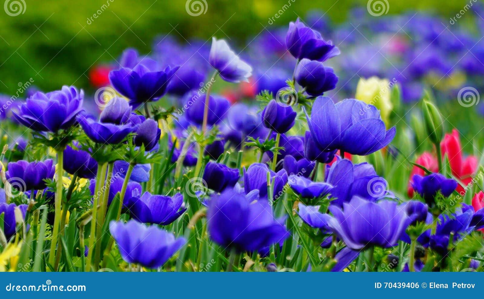 Flores de la primavera: una alfombra de annemonae azules en un fondo verde