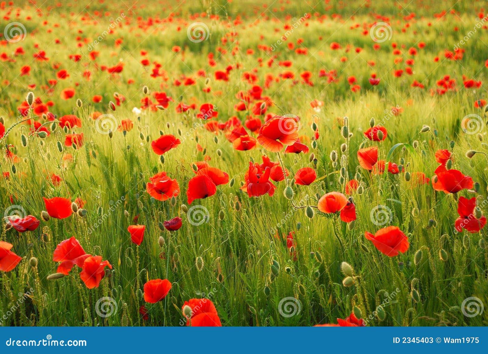Flores de las amapolas