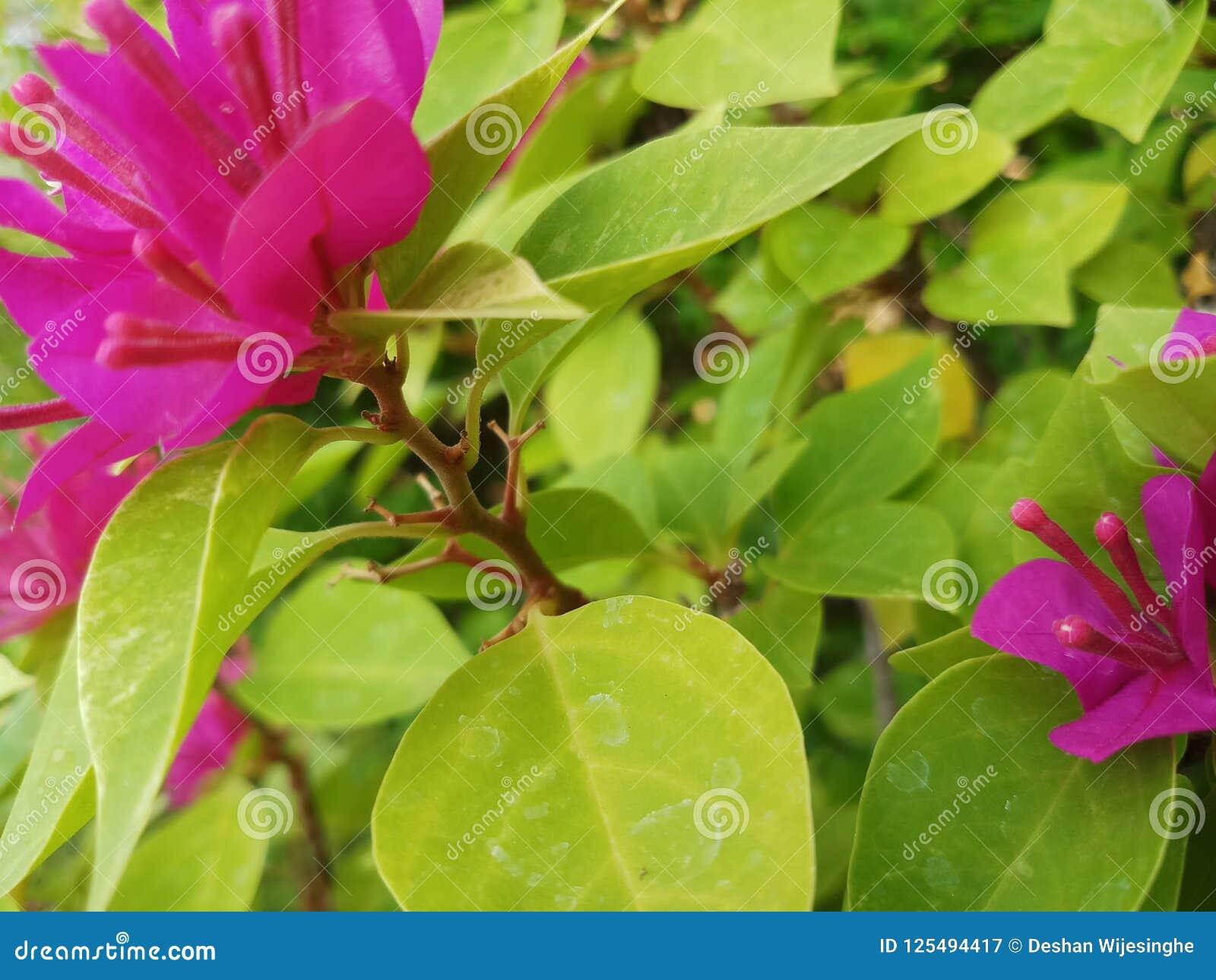 Flores de las buganvillas en color púrpura