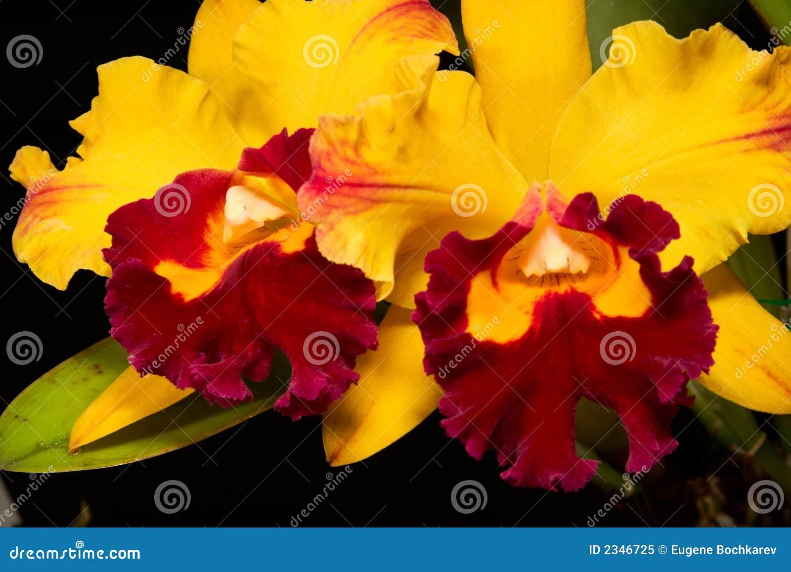 Flores de las orquídeas en el negro (Catt
