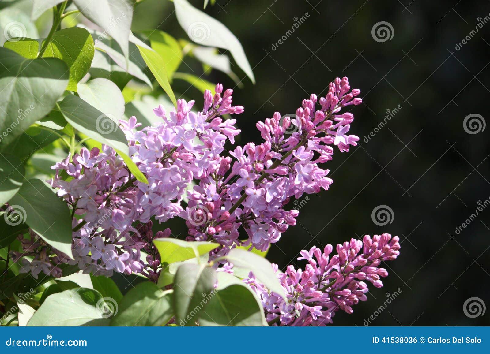 Flores de lilo stock photo image 41538036 - Plantas de hojas verdes ...
