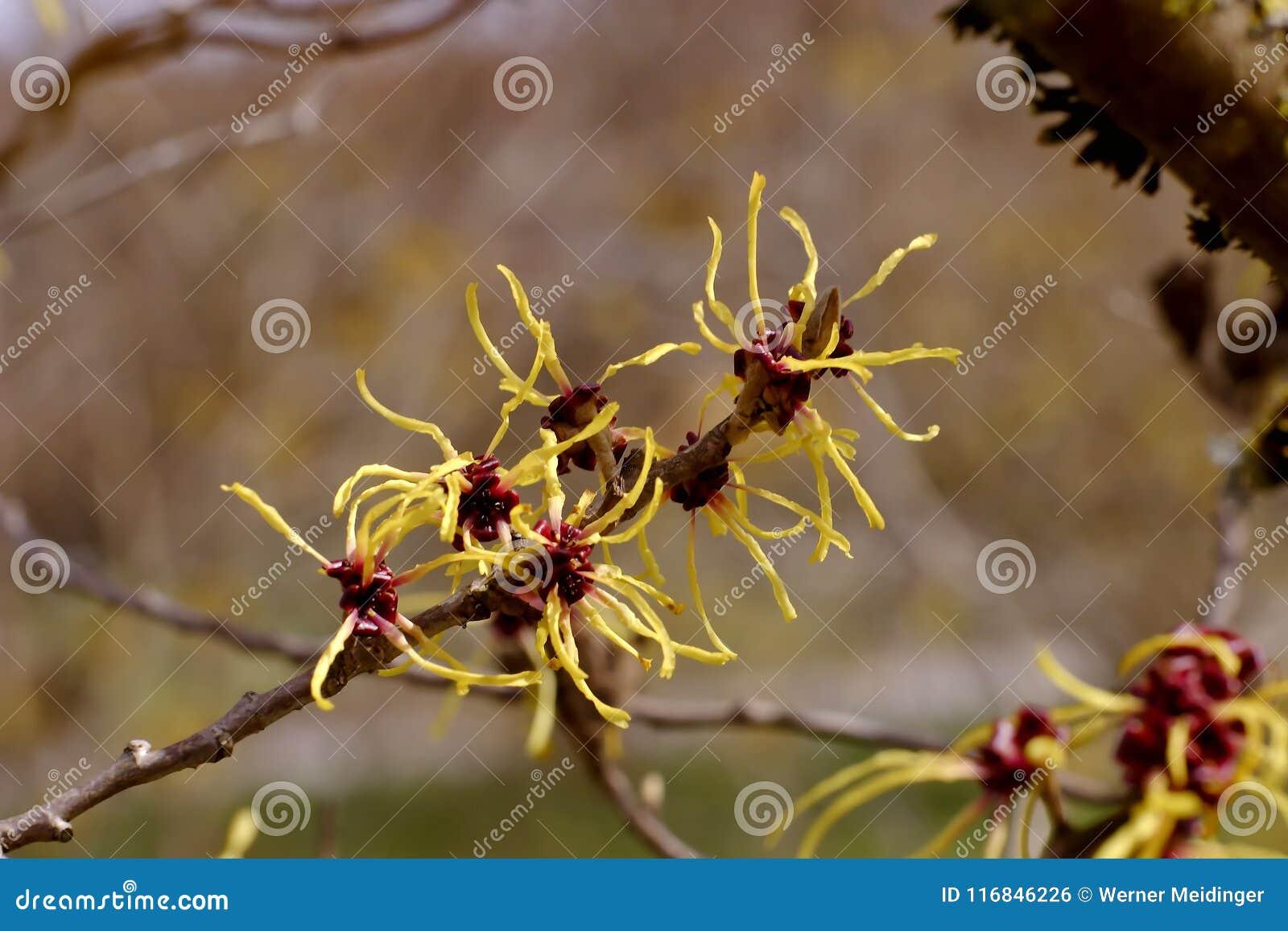 Flores de los mollis chinos de Hazel Hamamelis de la bruja