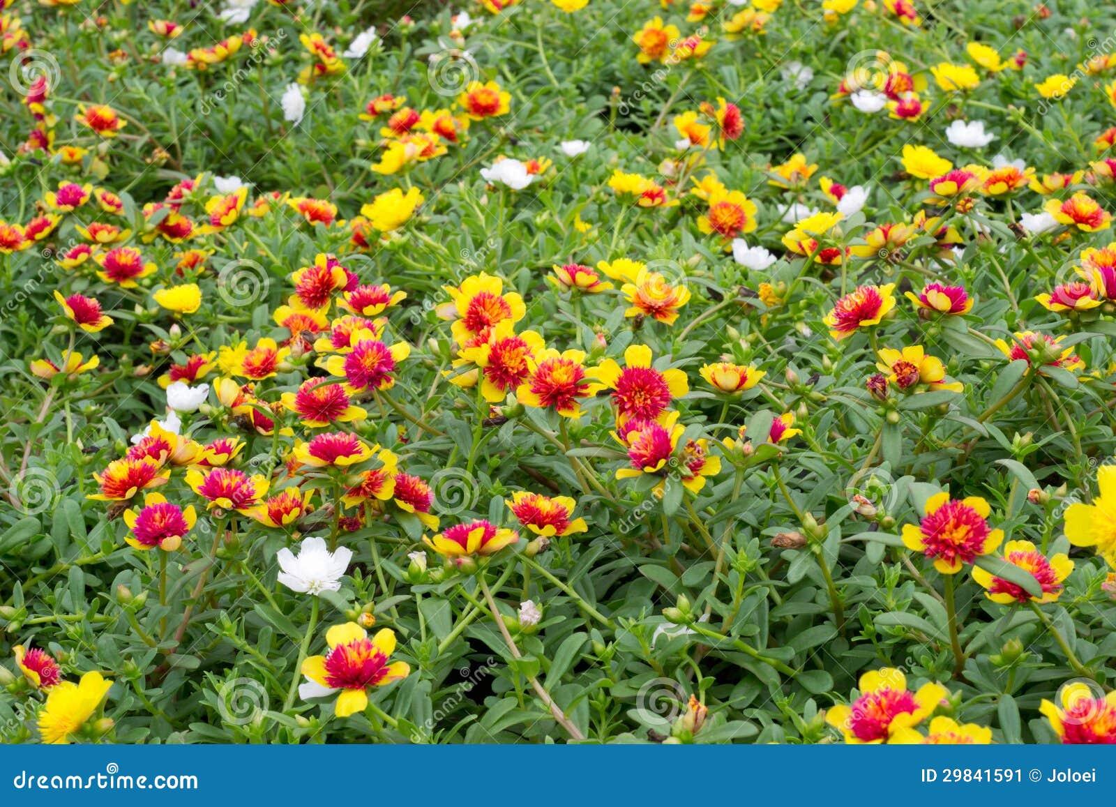 Flores de Portulaca