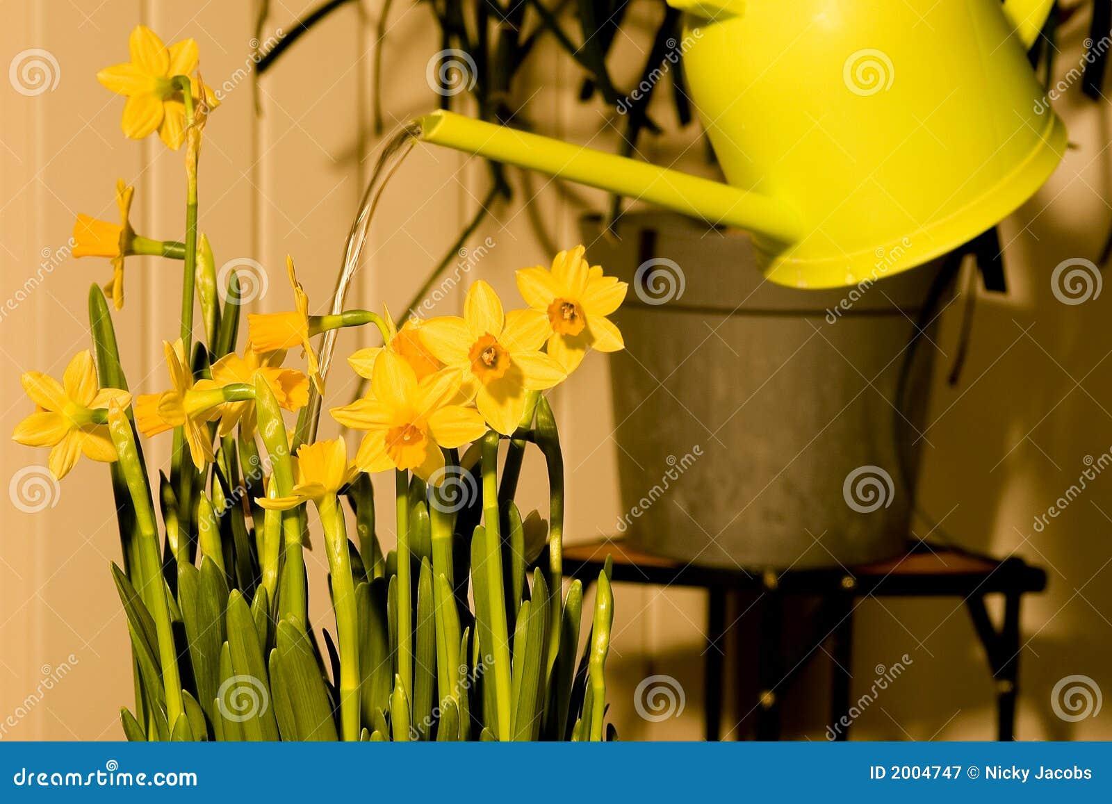 Flores de riego de pascua de los narcisos