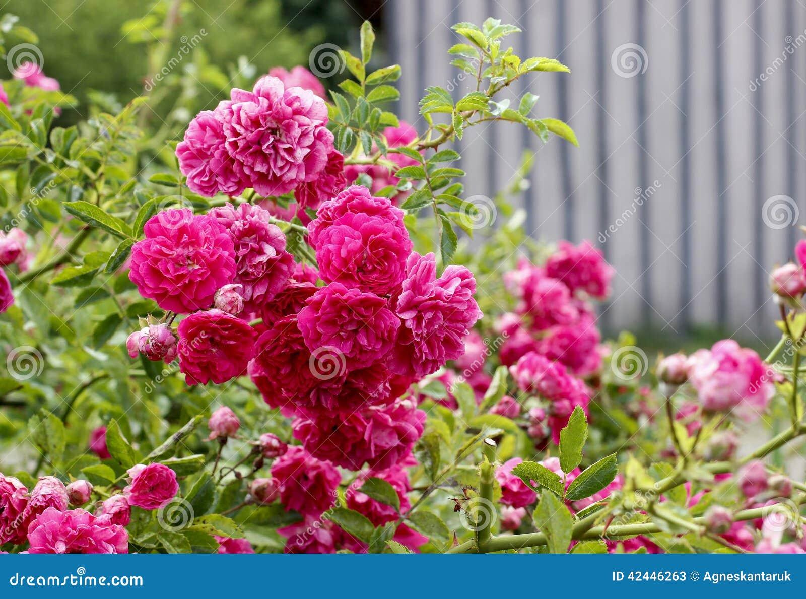 Flores de Rose en el jardín
