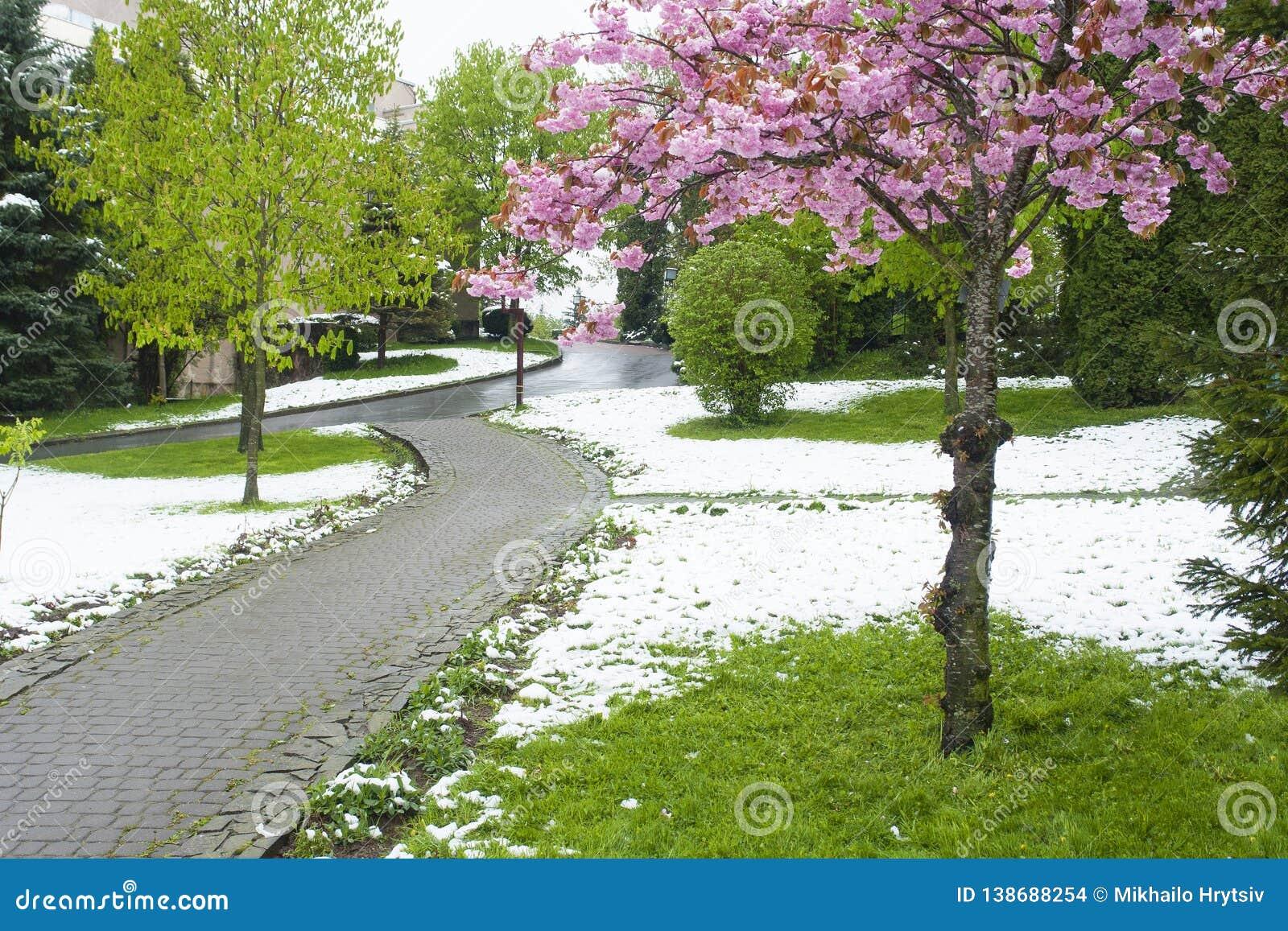 Flores de Sakura na neve