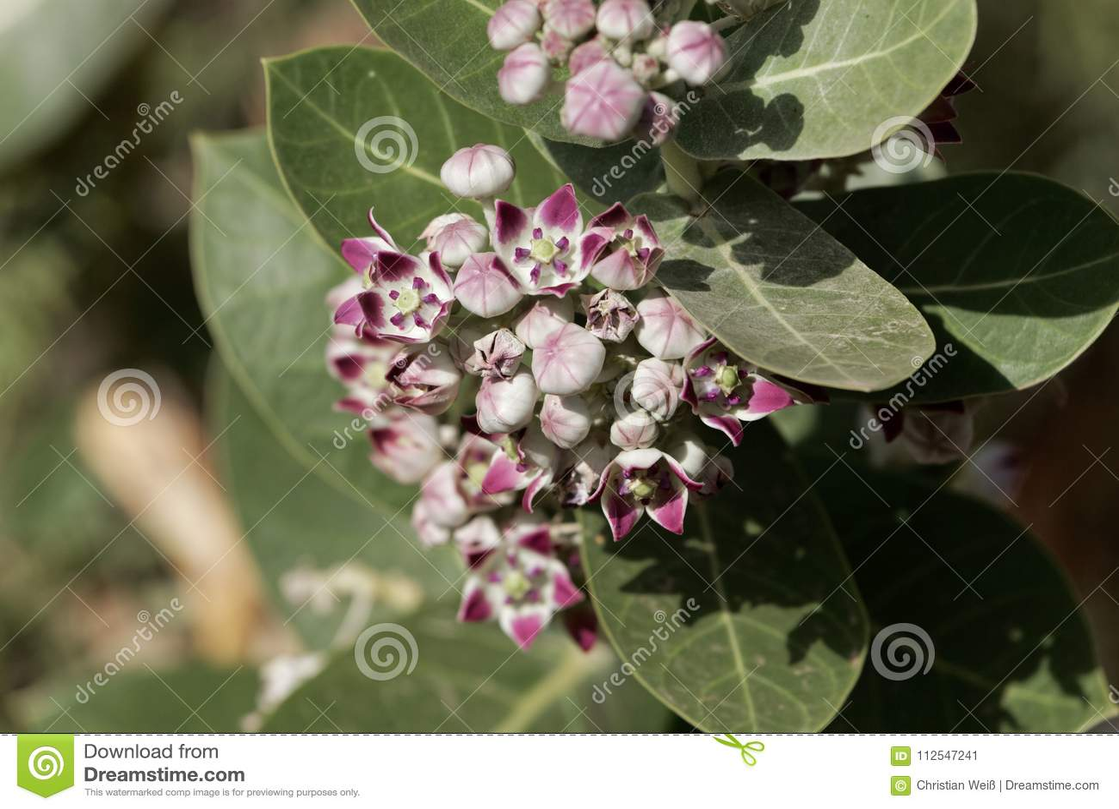 Flores de um procera de Calotropis do arbusto da maçã de Sodom