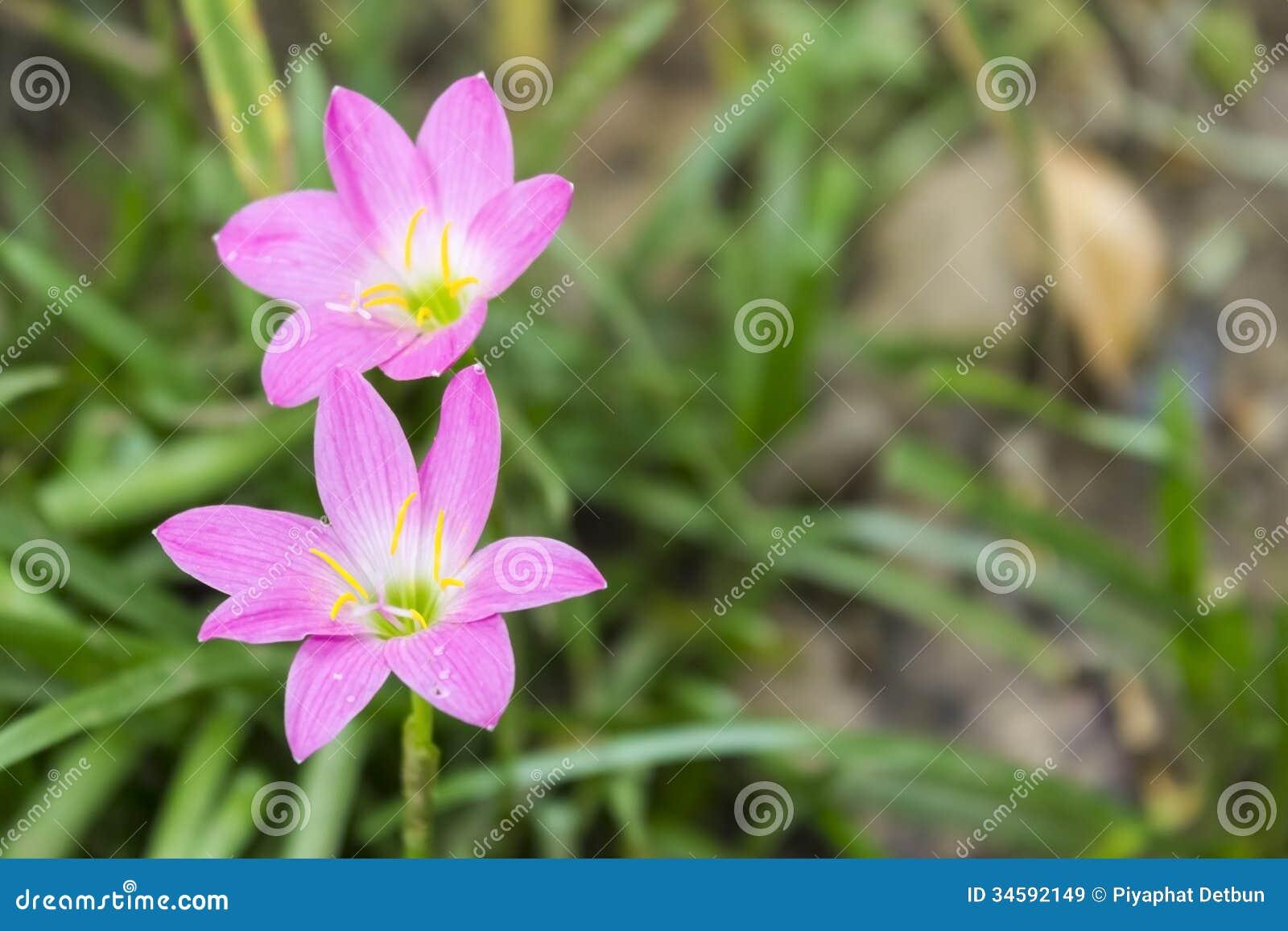 Famosos Flores de Zephyranthes imagem de stock. Imagem de fairy - 34592149 FV42
