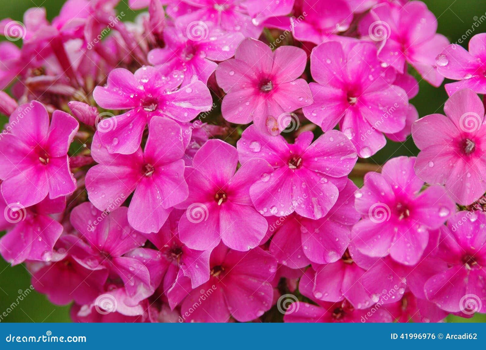 Flores decorativas phlox flora
