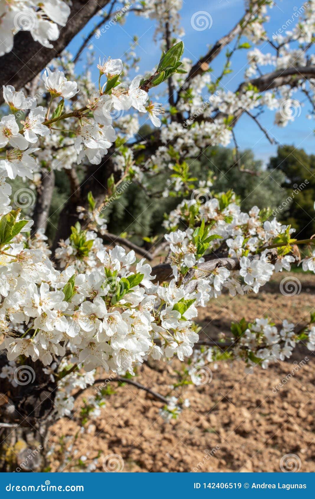 Flores del árbol de ciruelo