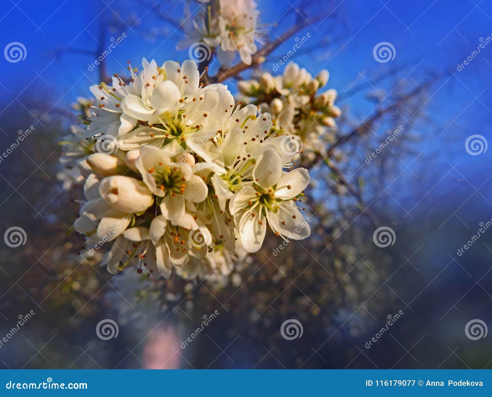 Flores del árbol de ciruelo salvaje en la primavera Estación de primavera mágica