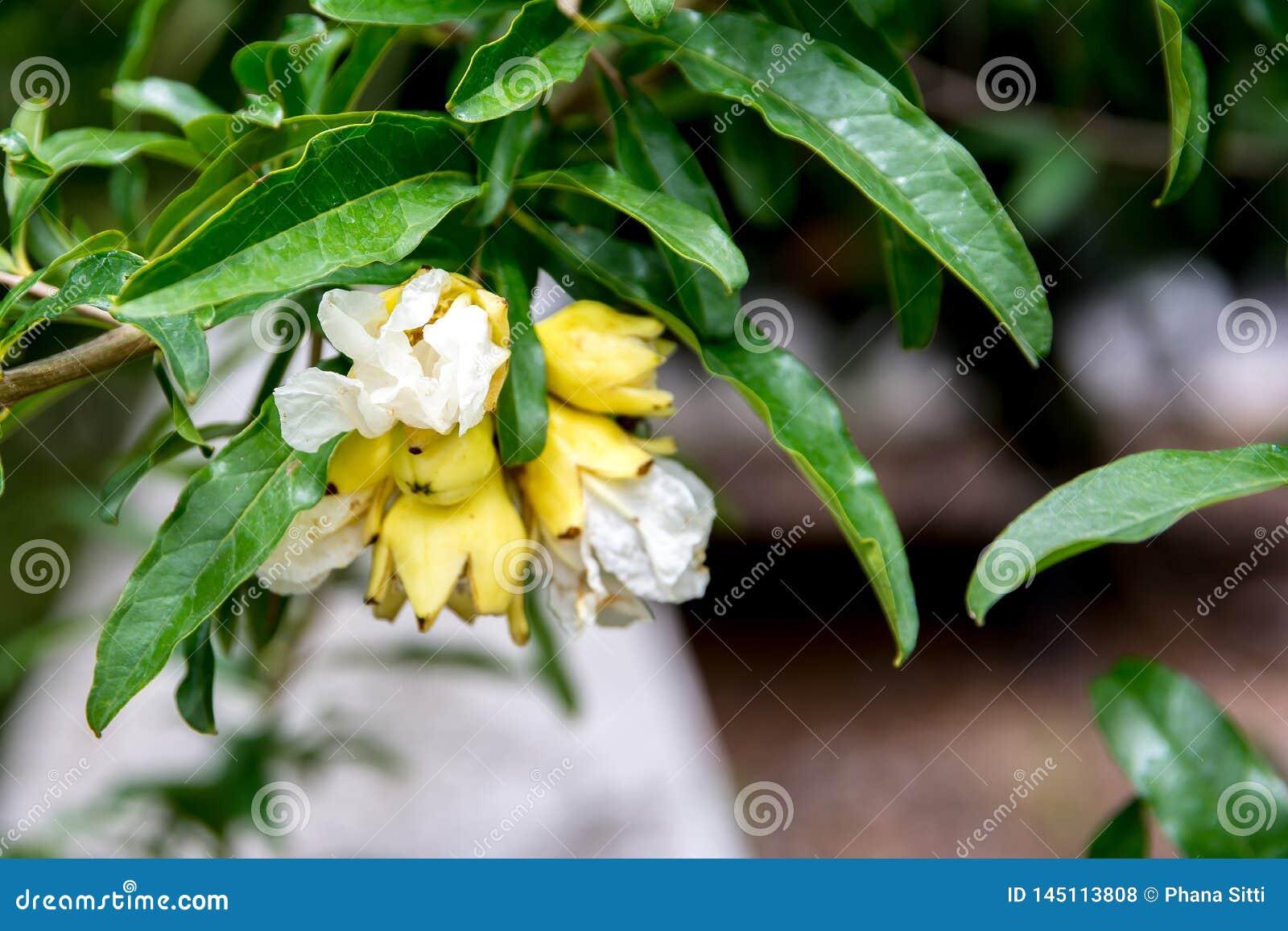 Flores del árbol de granada en el parque Flor amarilla de la granada con las hojas