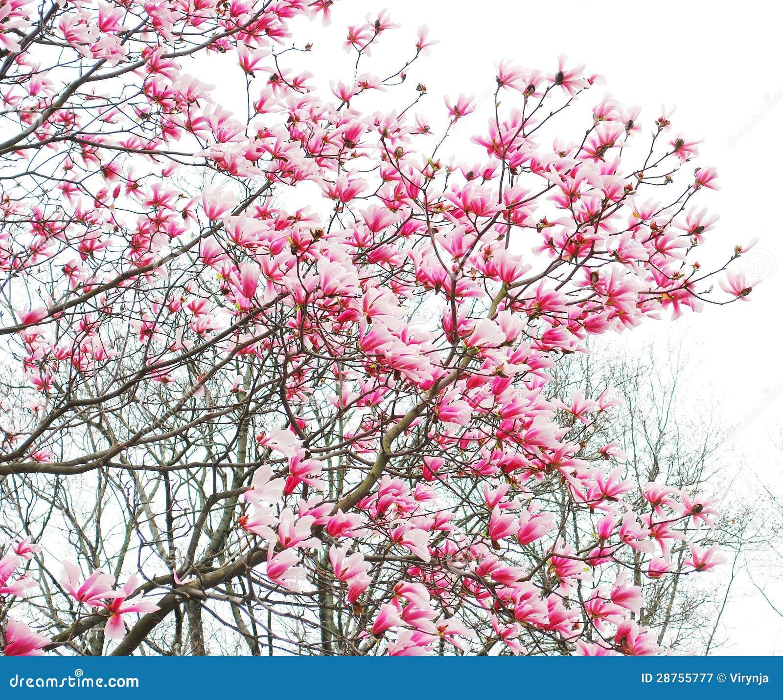 Flores del rbol de la magnolia de la primavera imagen de - Arbol de rosas ...