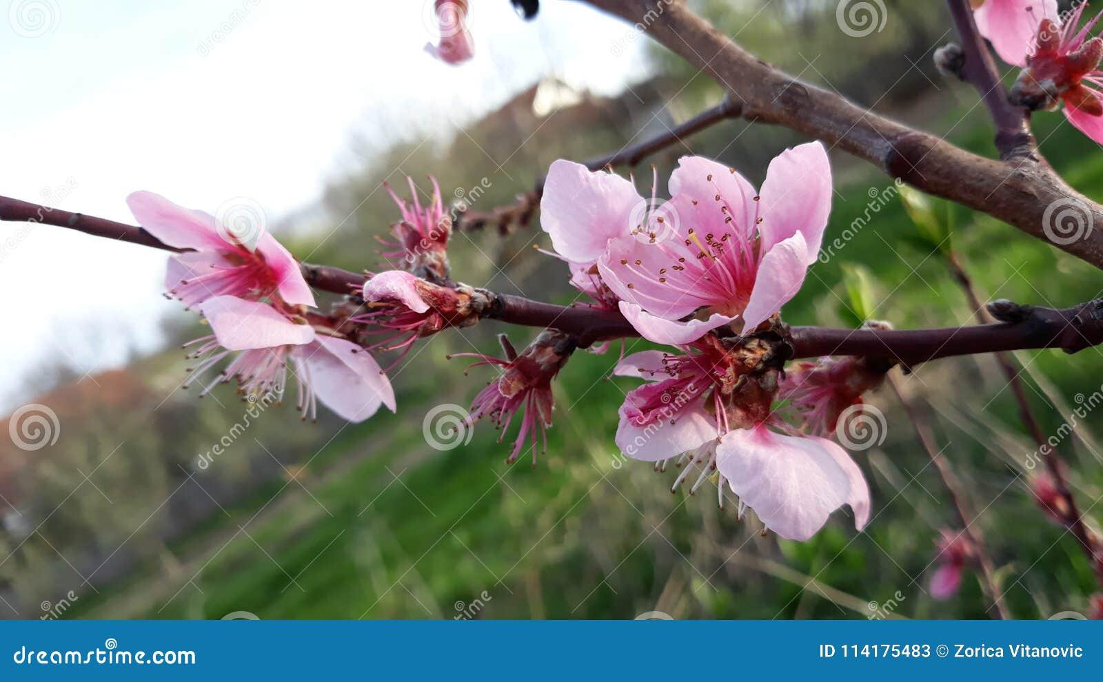 Flores del árbol de melocotón