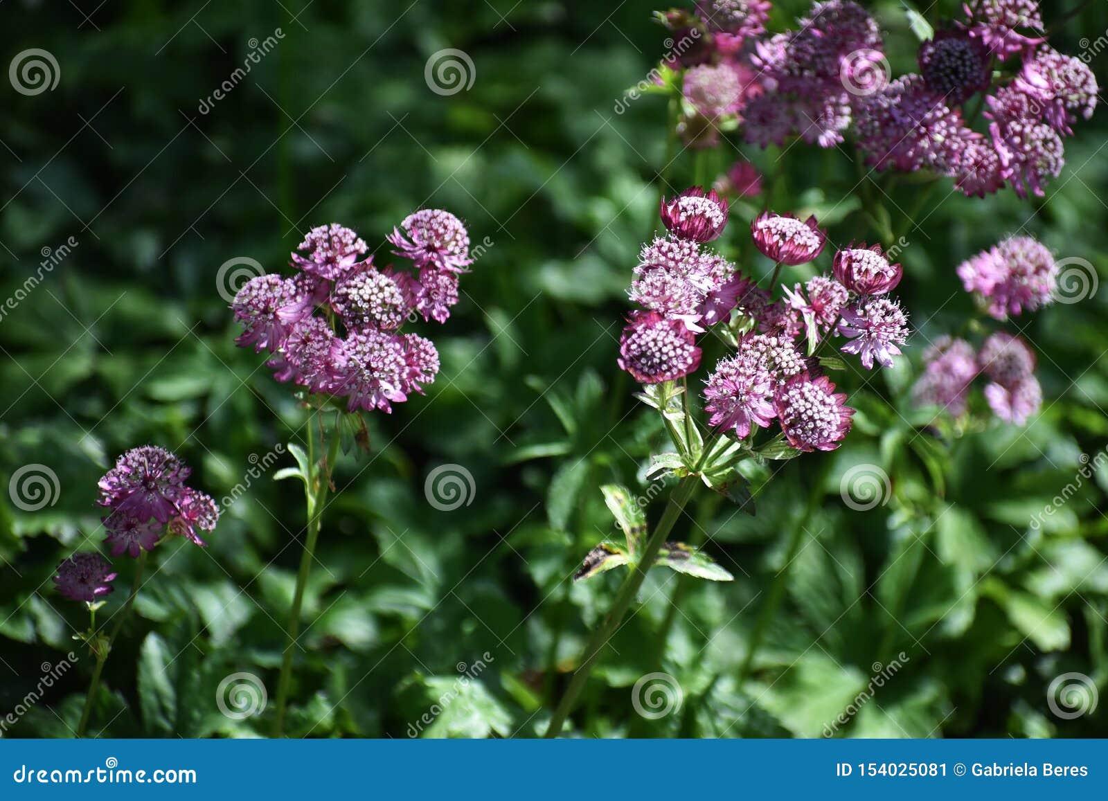 Flores del Astrantia principales en el jardín