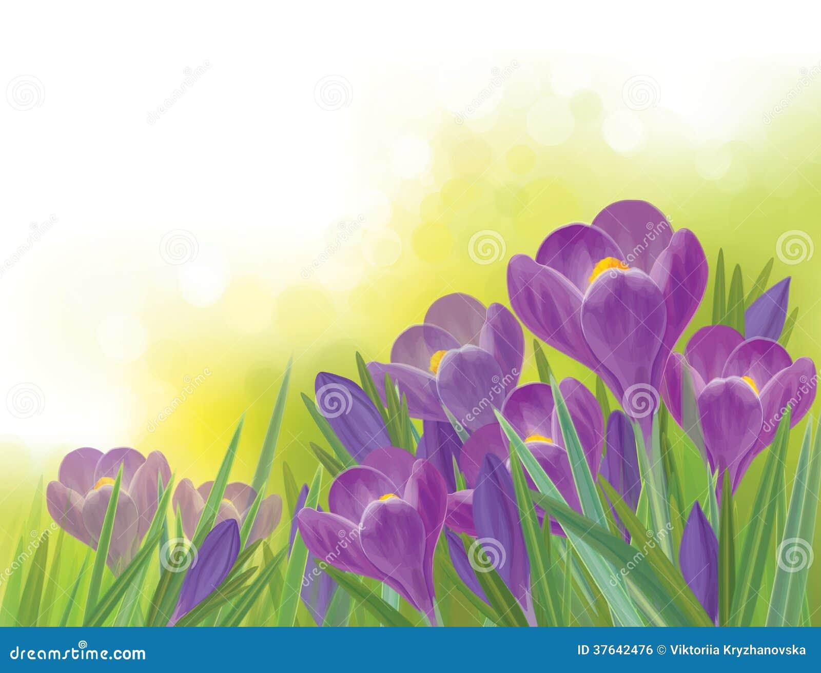 Flores del azafrán de la primavera del vector en fondo de la primavera