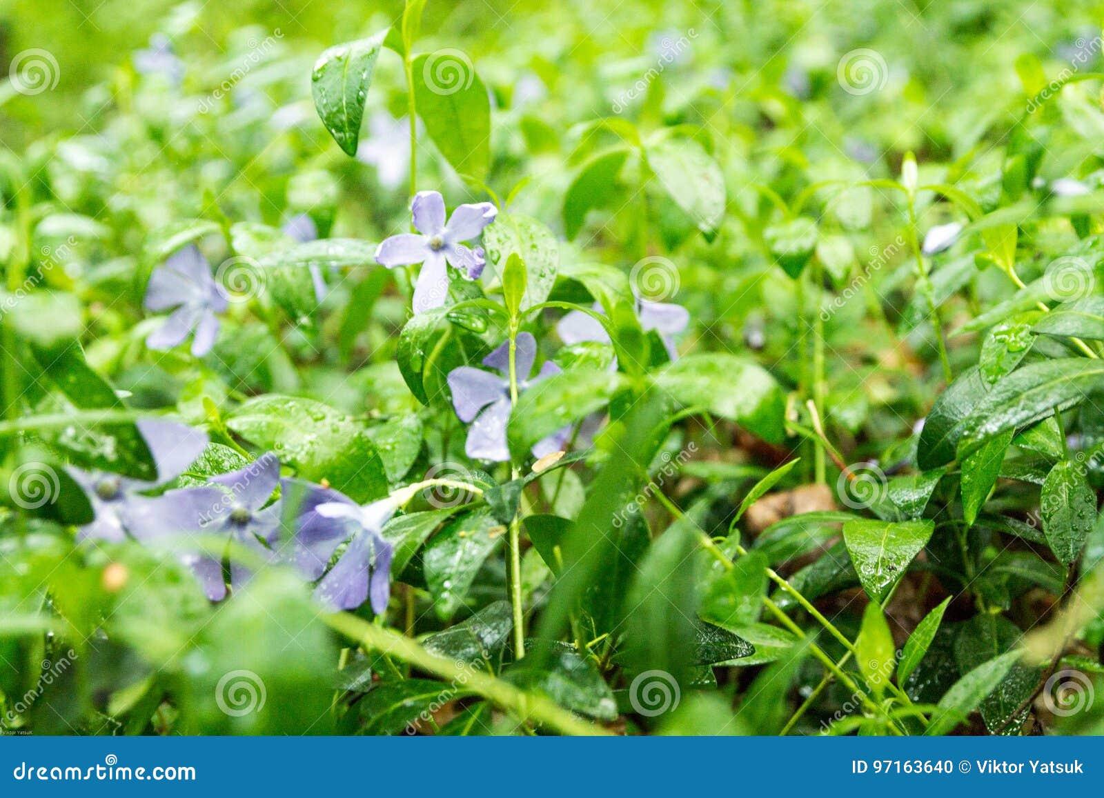 Flores del bosque Flores de la lila Claro de las flores del bosque Fondo de la naturaleza