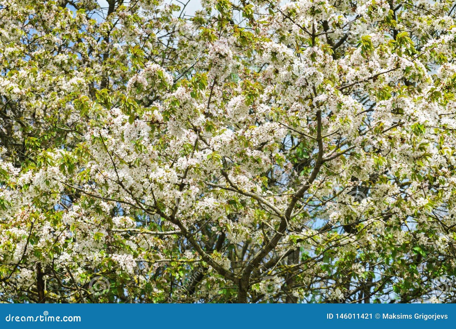 Flores del cerezo con las flores blancas en un día soleado de la primavera