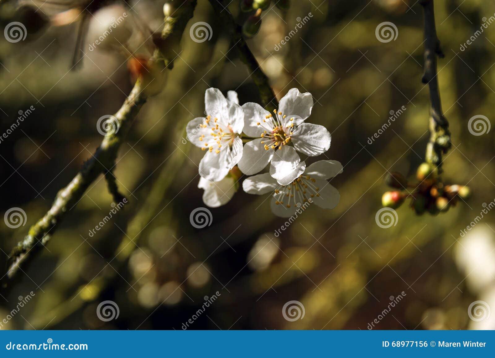 Flores del ciruelo de cereza en la primavera temprana en la huerta de fruta, clo