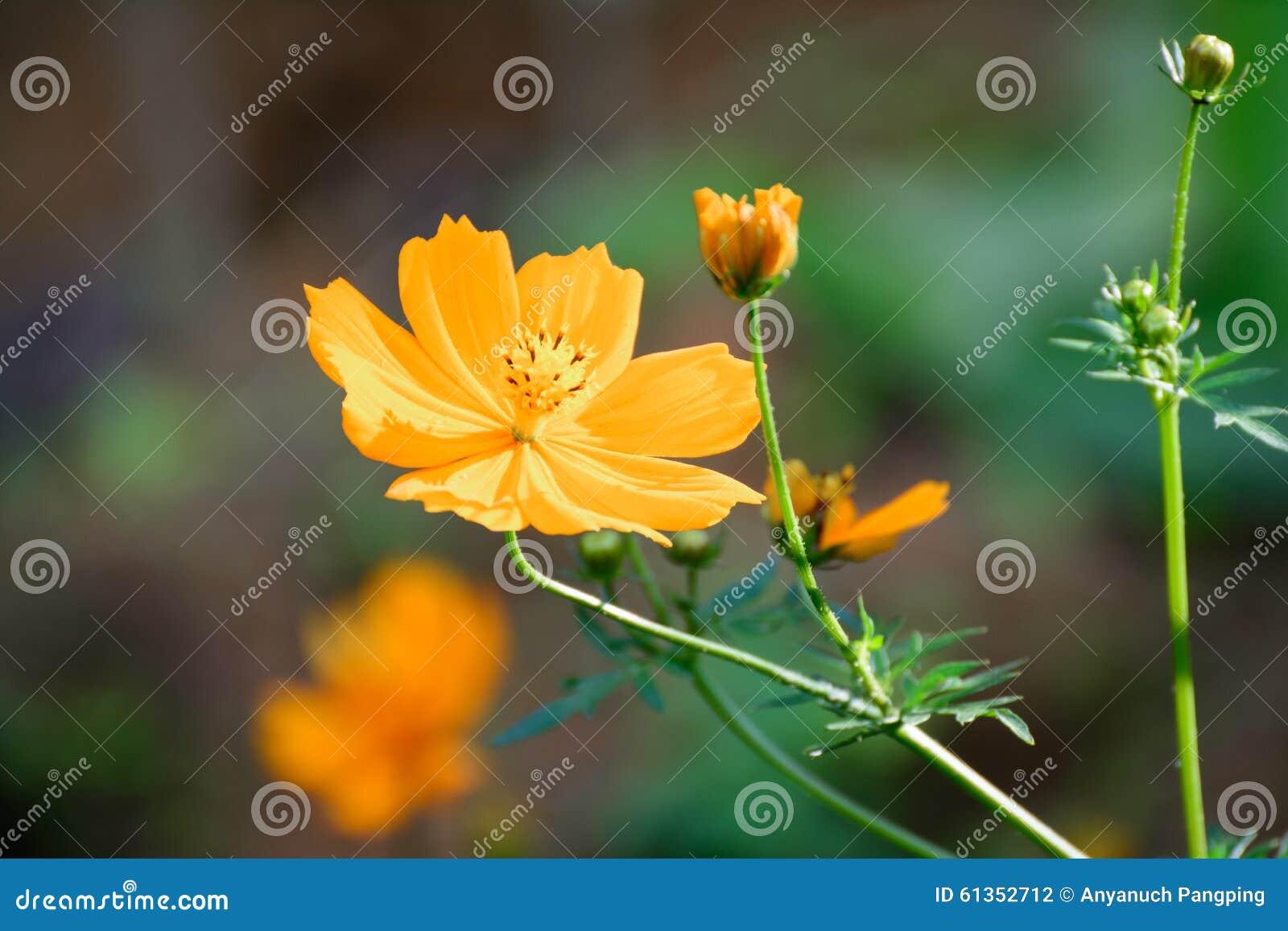 Flores del cosmos