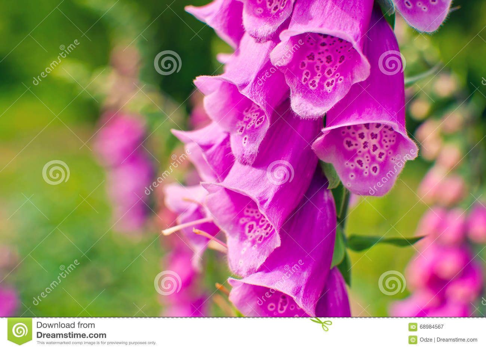 Flores del guante púrpura de la dedalera o de la señora