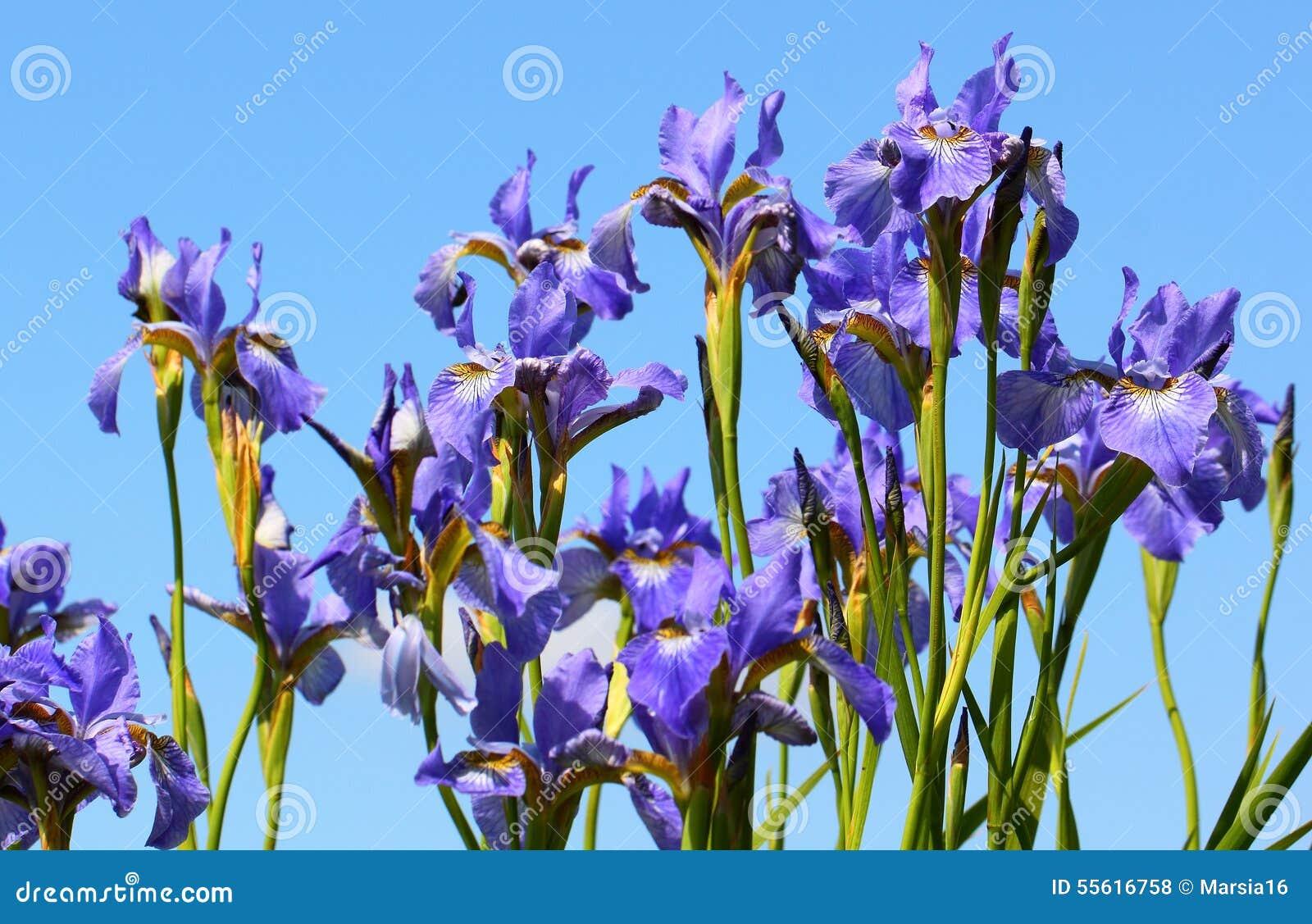 Flores Del Iris En Fondo Del Cielo Foto De Archivo Imagen De