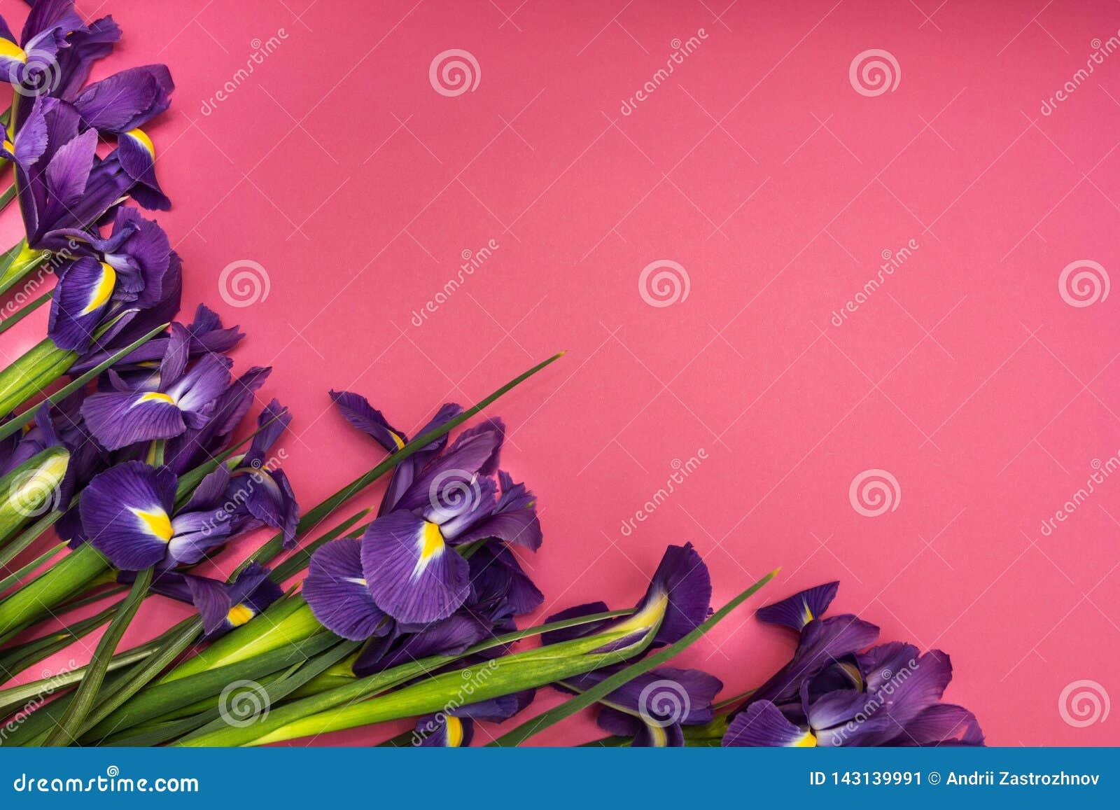 Flores del iris en un fondo rosado