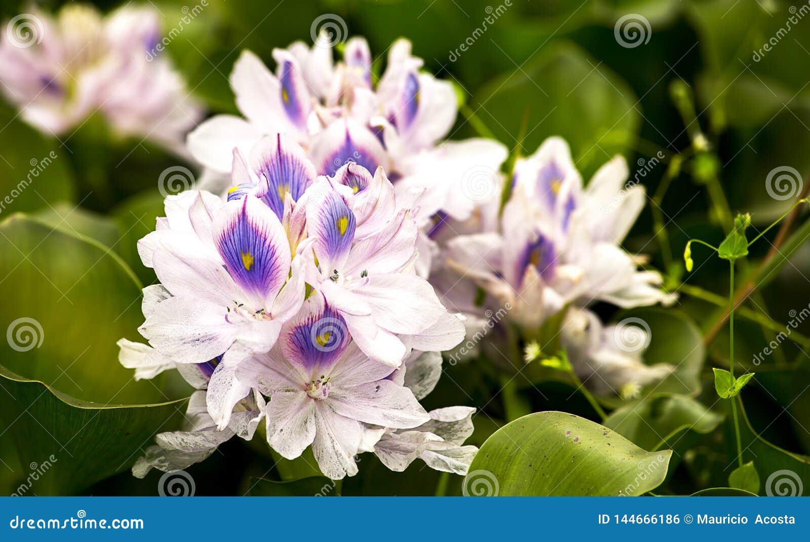 Flores del jacinto de agua en una charca