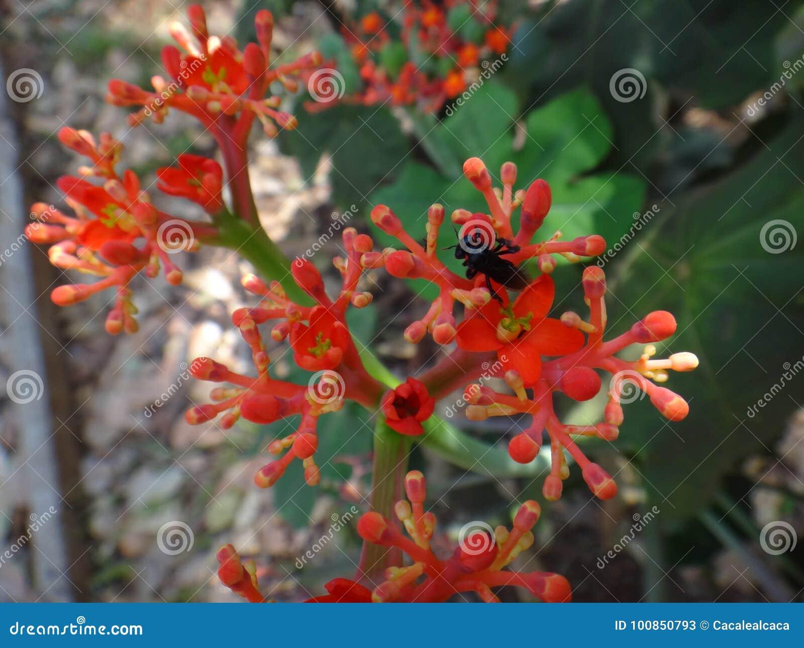 Flores del Jatropha con el insecto