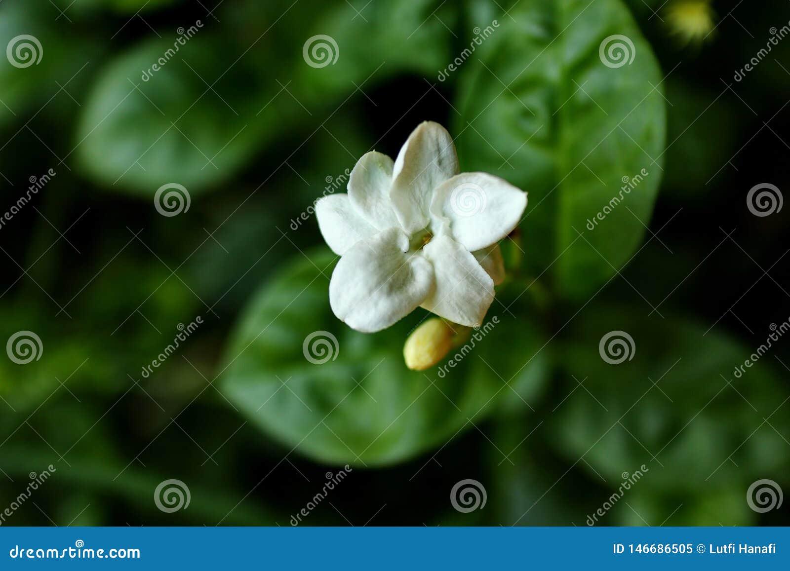 Flores del jazmín en fotos con un fondo oscuro